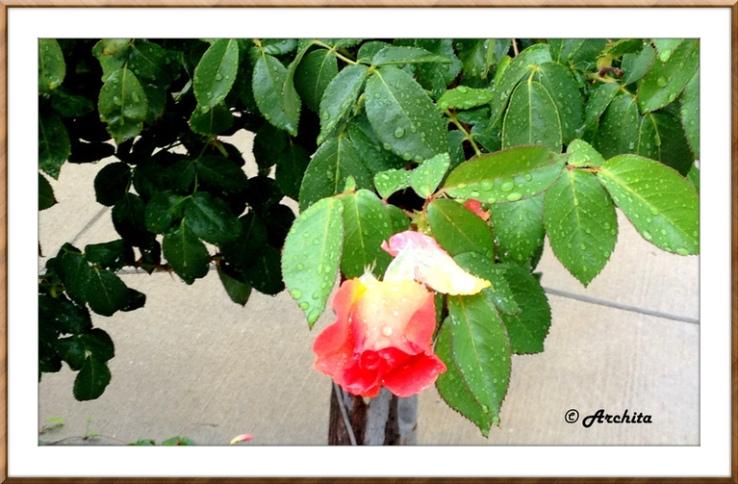 rose rain