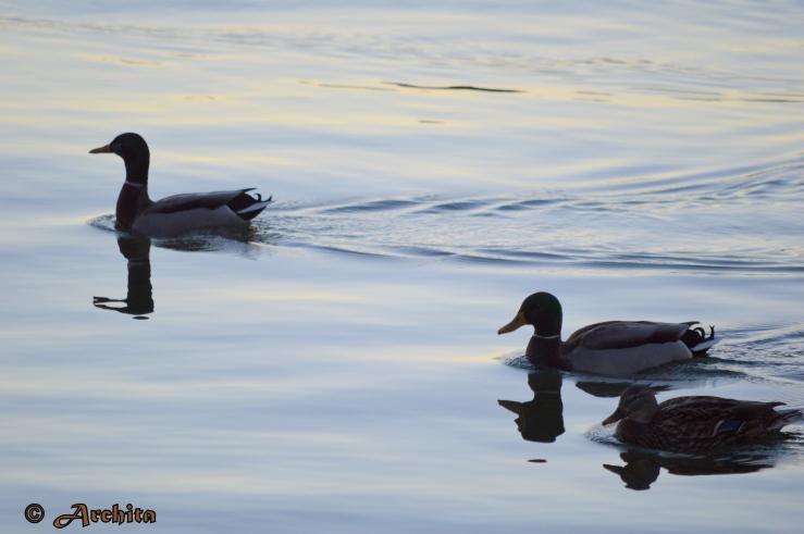 Ducks of the Lake