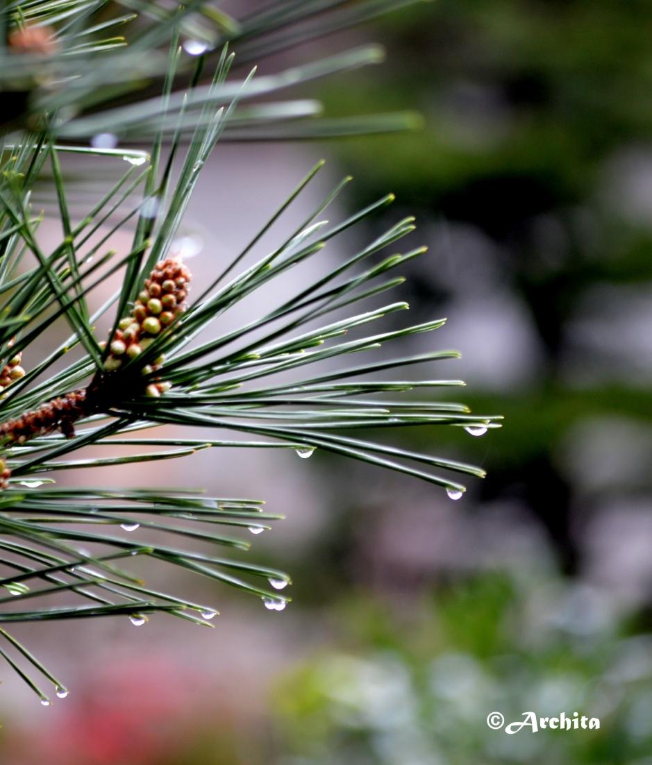 Fresh Pine Needles